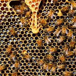 Fotó: queen-cup-honeycomb-honey-bee-new-queen-rearing-compartment-56876.jpeg